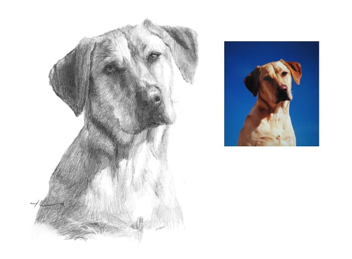 Pencil pet portrait from a photo of a yellow labrador by portrait artist Mike Theuer. Photo reference included.
