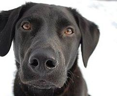 black lab photo by portrait artist mike theuer