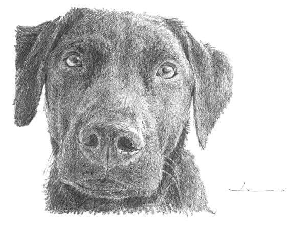 black labrador pencil portrait by portrait artist mike theuer