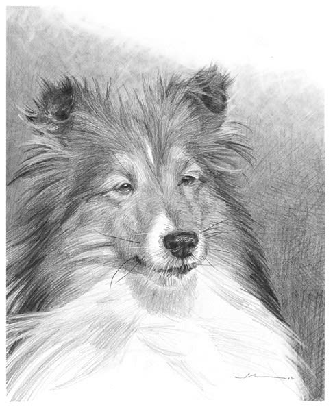 collie pencil portrait by Mike Theuer