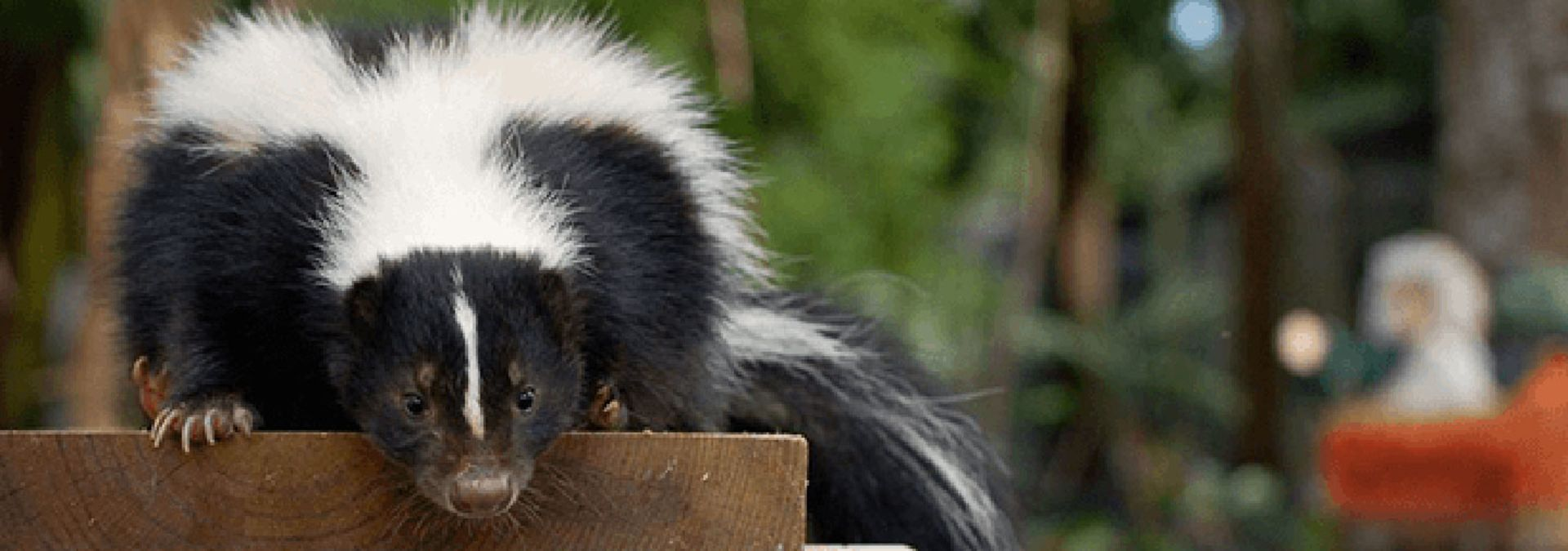 A skunk in the outdoors
