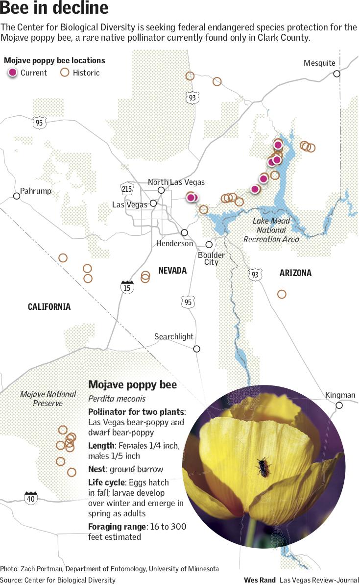 Mojave poppy bee