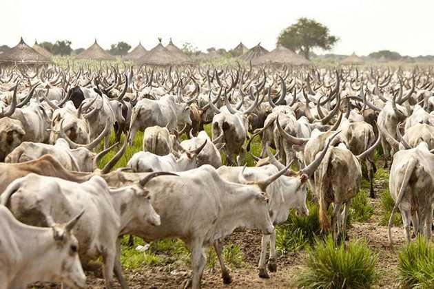 Nigeria cattle