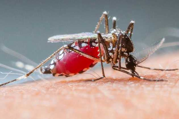 Mosquito saliva