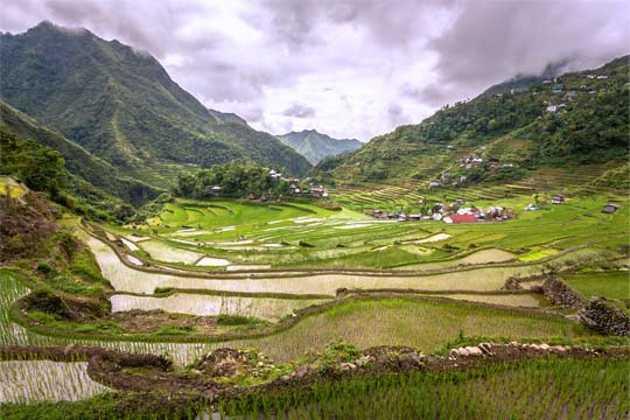 Philippine rice