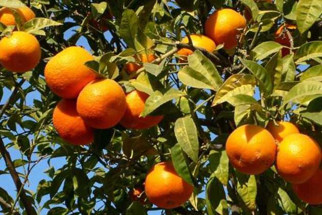 Spain citrus