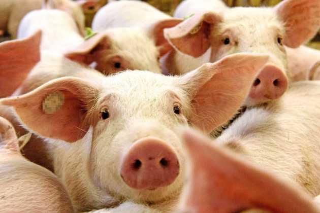 Myanmar pigs