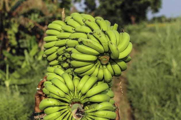Ecuador banana plants