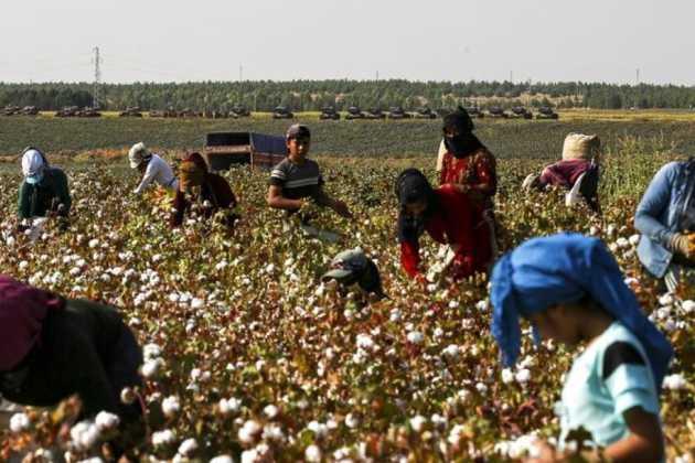 Syria cotton