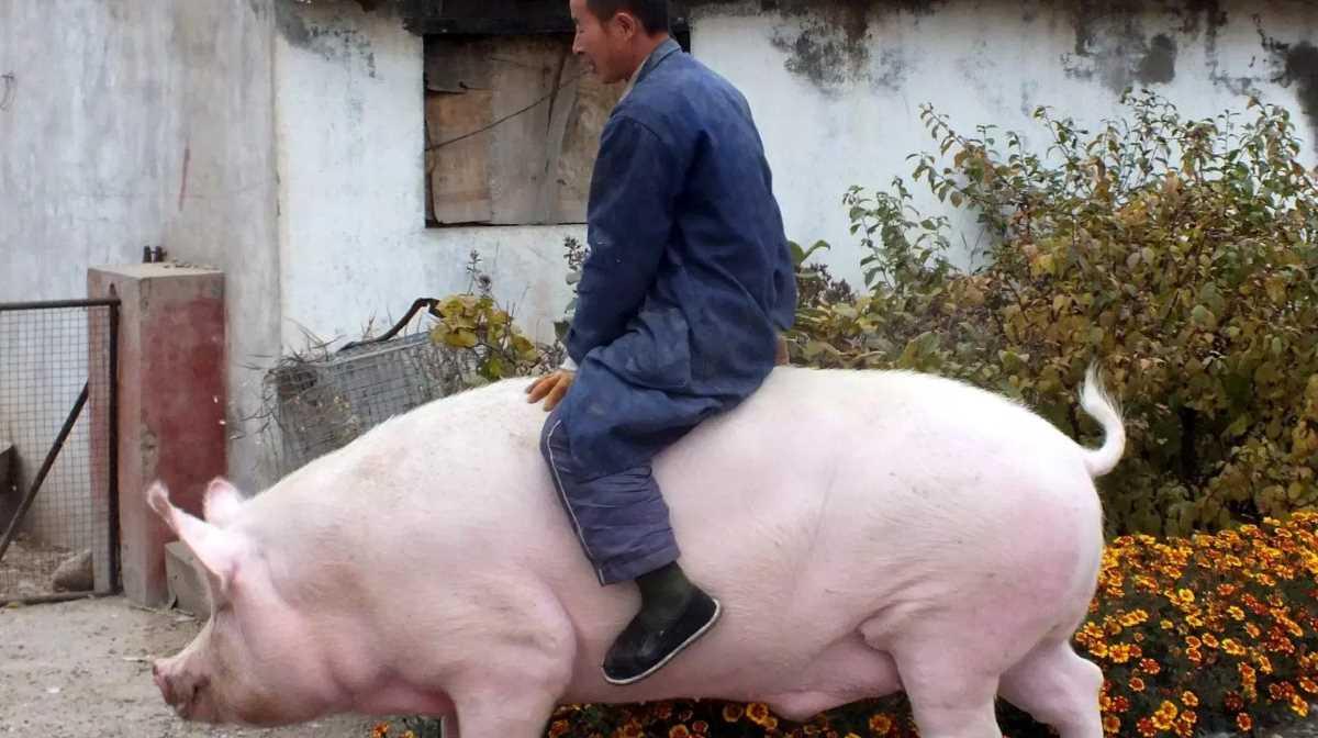 Cina pigs