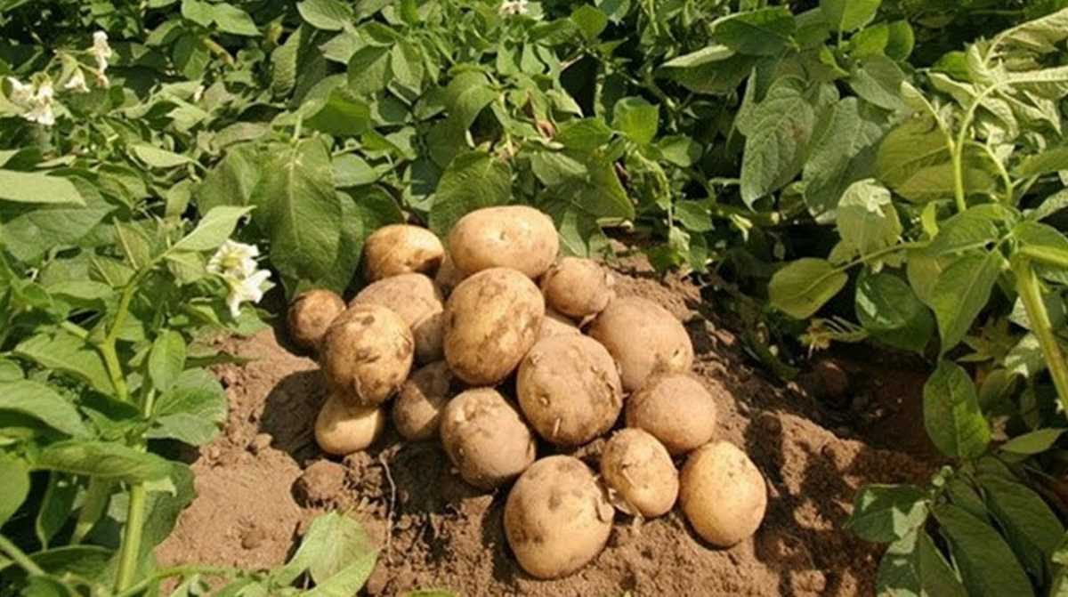 Bangladesh potato
