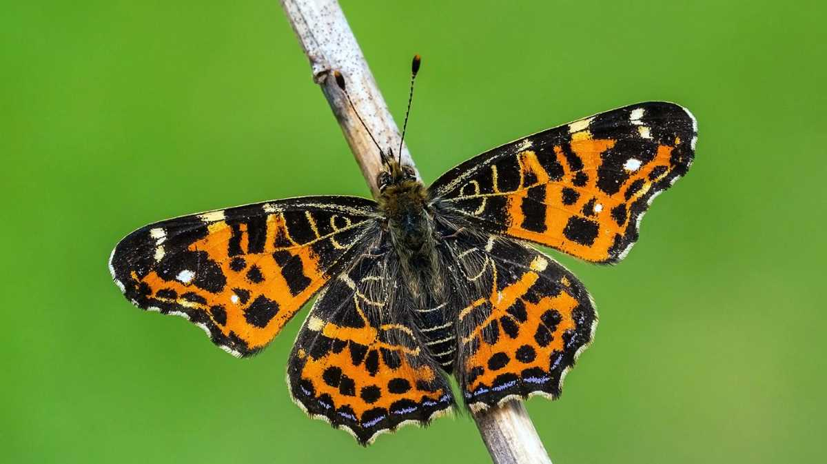 Butterfly Netherlands