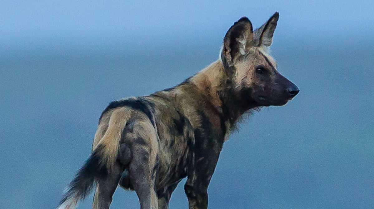 Serengeti's vanishing wild dogs