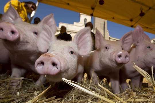 Pigs price