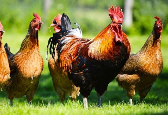 Ukraine poultry