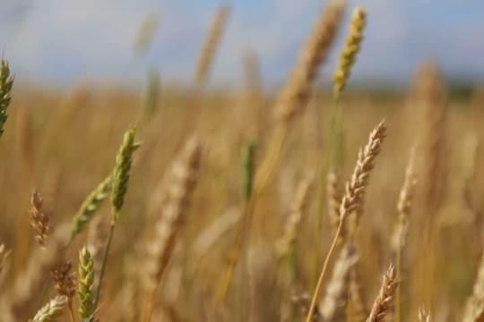 Siberia grain