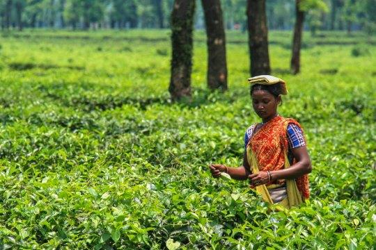 Bangladesh tea