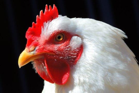Dutch broiler hens