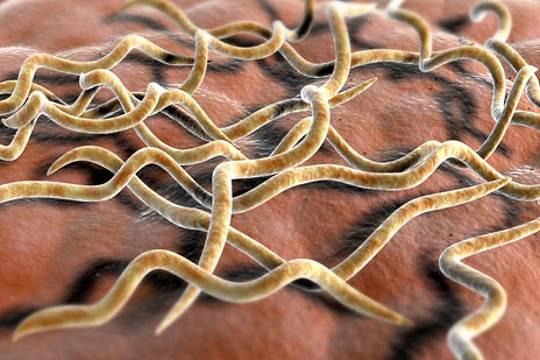Lyme bacteria