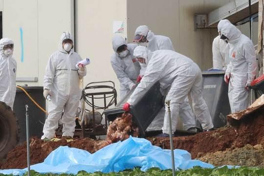 South Korea bird flu