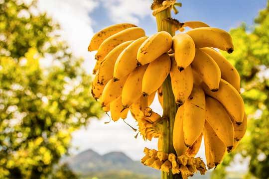 Jamaica bananas