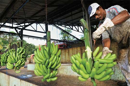 Paraguay banana