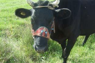Romania beef