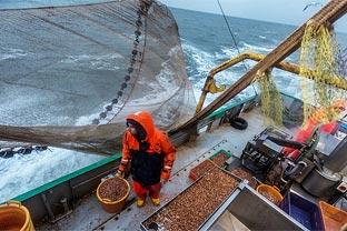 North Sea shrimps