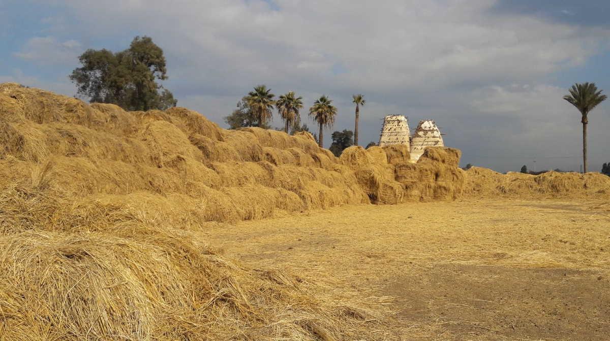Egypt rice straw