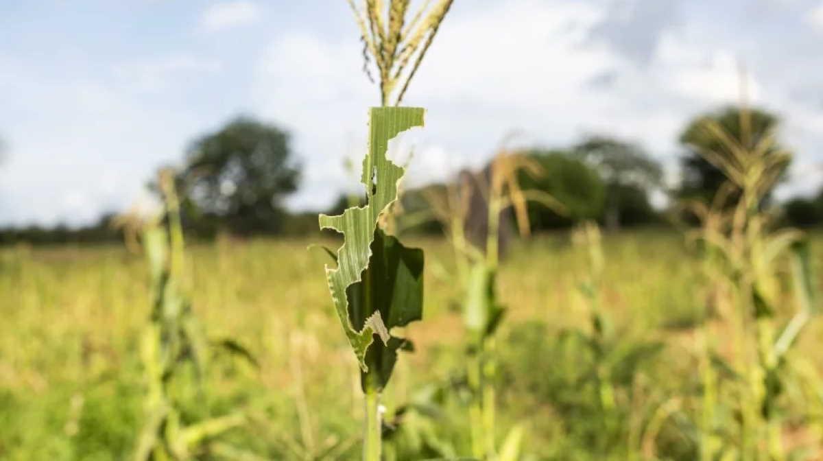 India locust