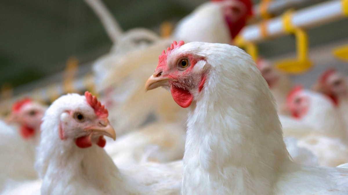 Ukraine chicken