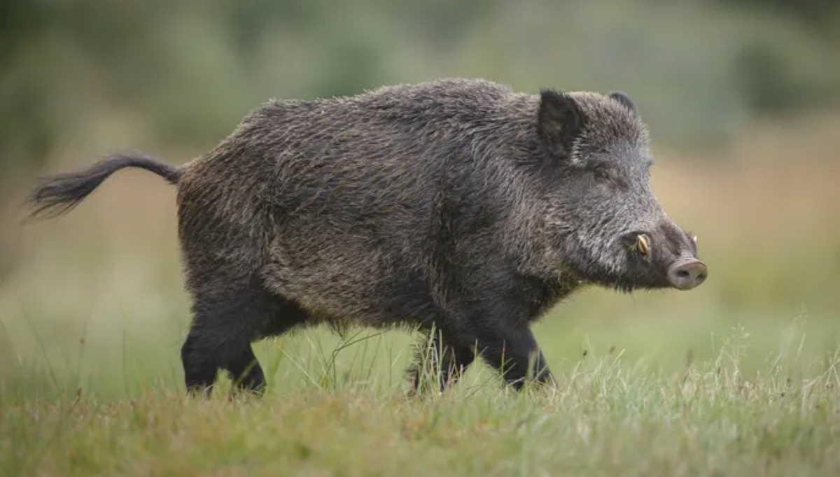 China wild boar