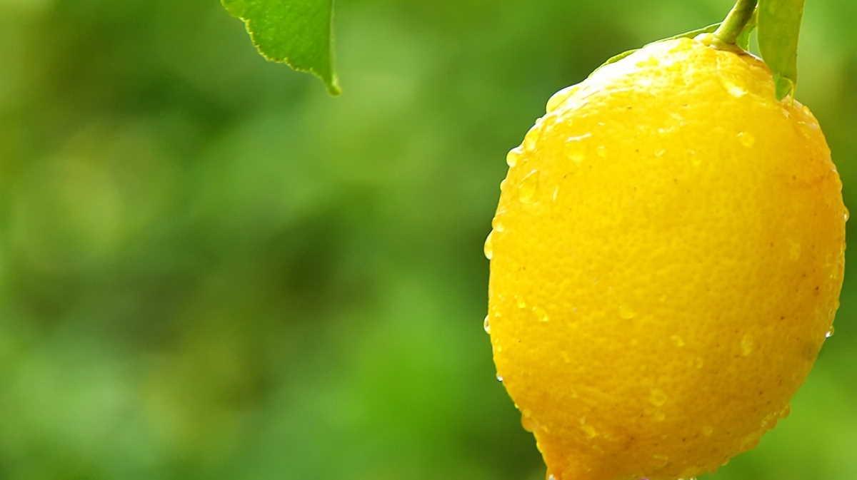 Argentina lemon