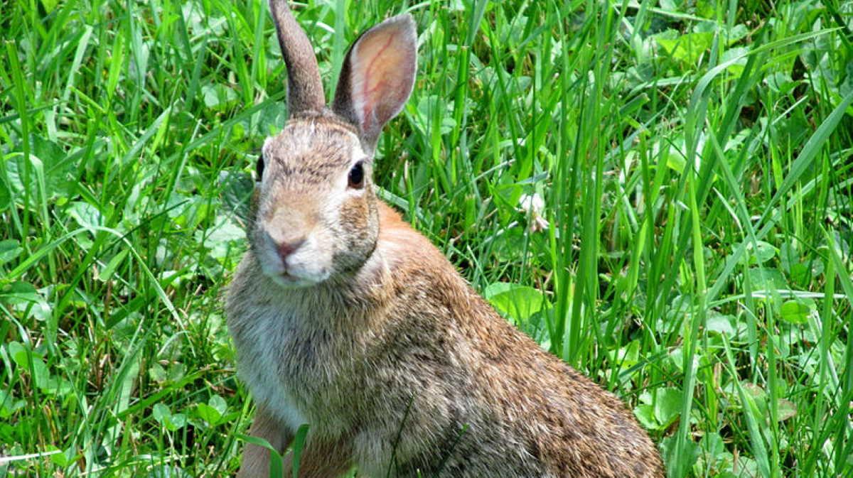 Colorado wild rabbit