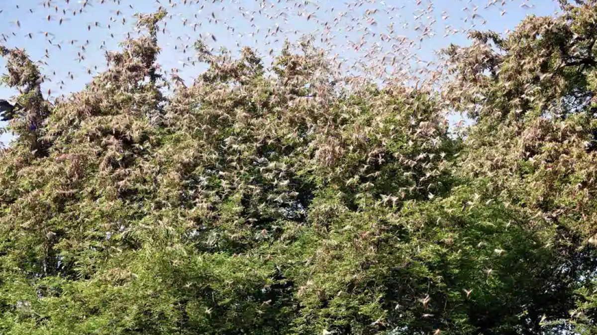 Delhi locust