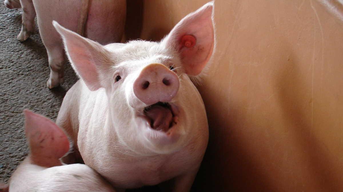 German pig