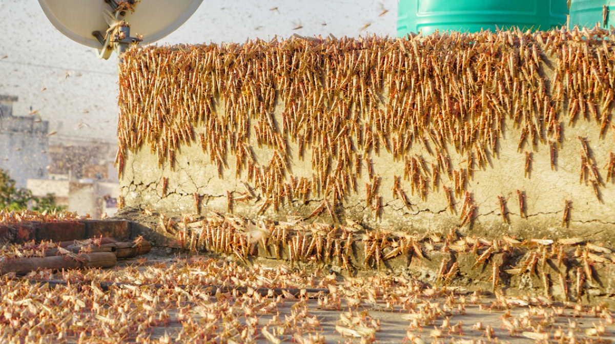 Locust in India