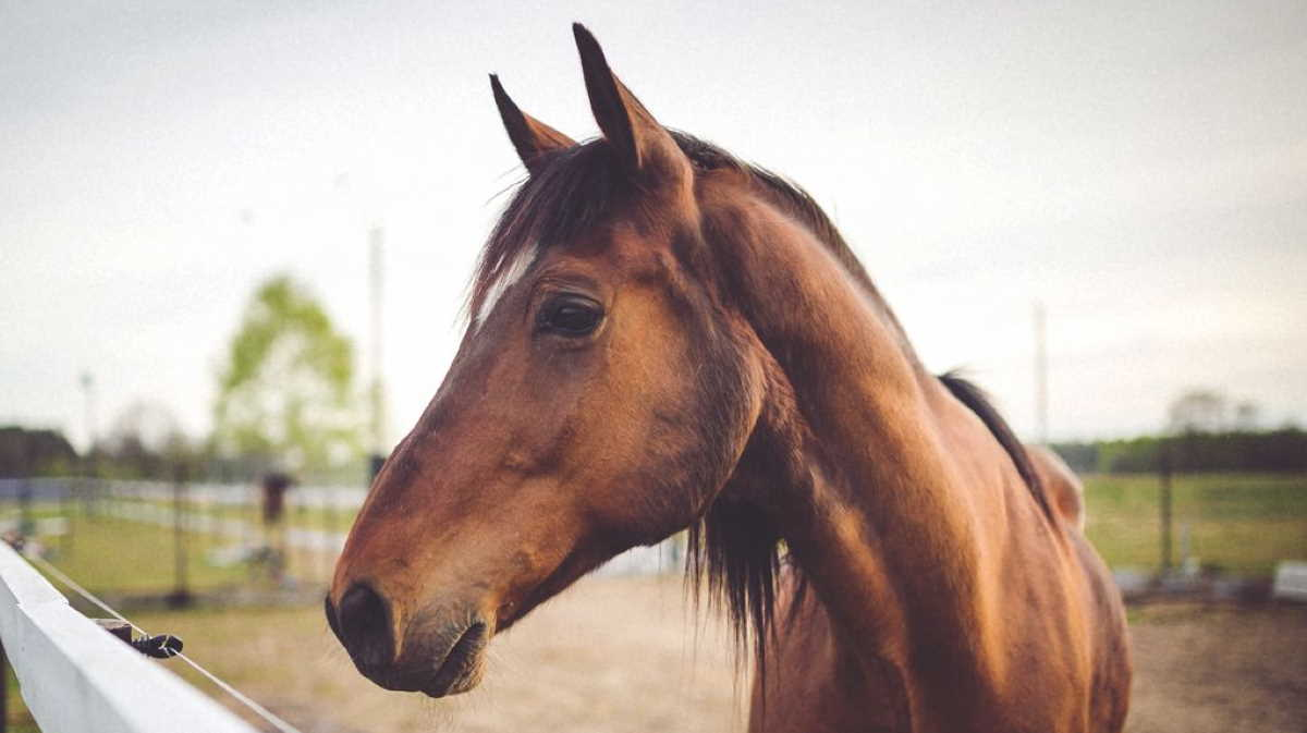 Maryland Equine Herpesvirus