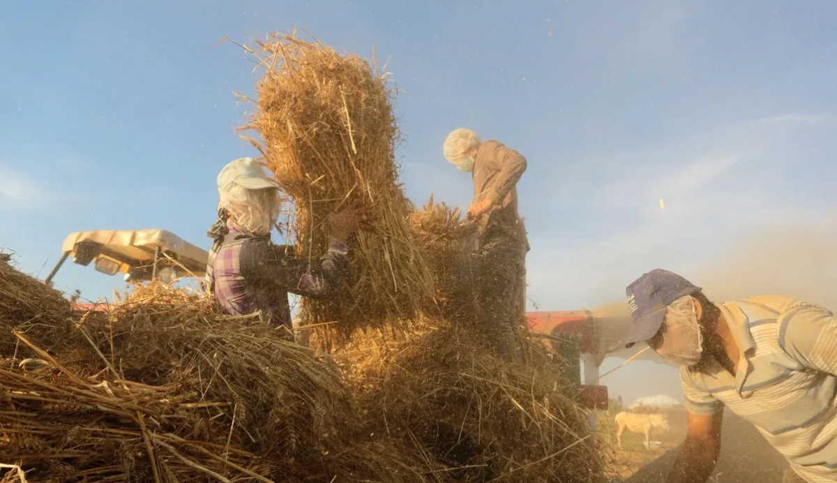Syria wheat