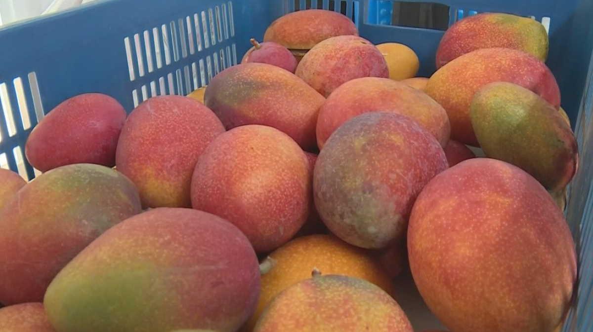 Taiwan's mangoes
