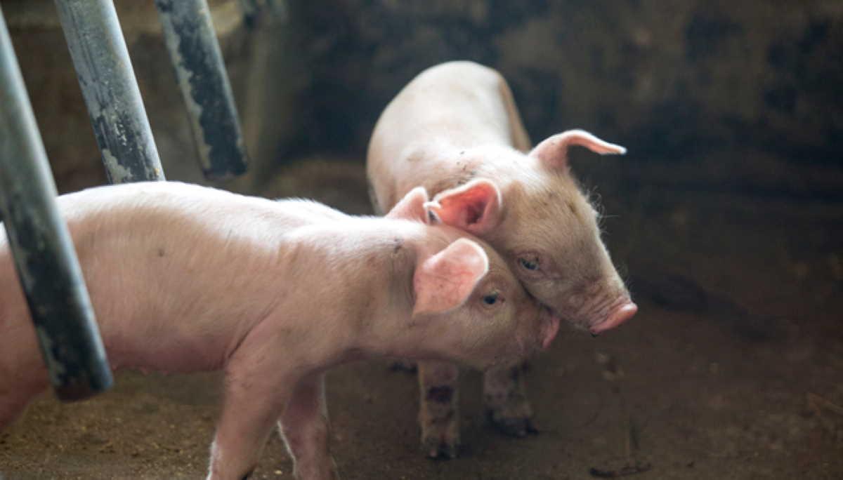 Togo swine