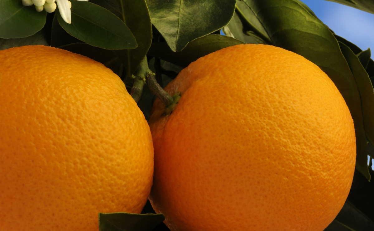 Uruguayan citrus
