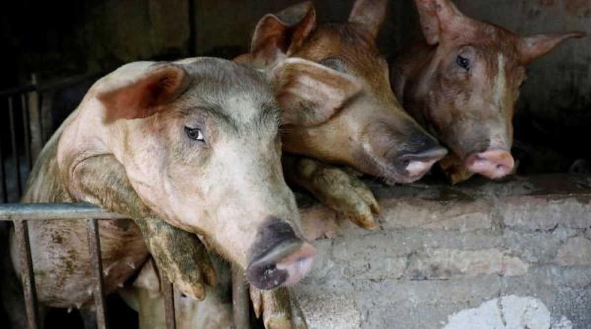 Vietnam swine fever