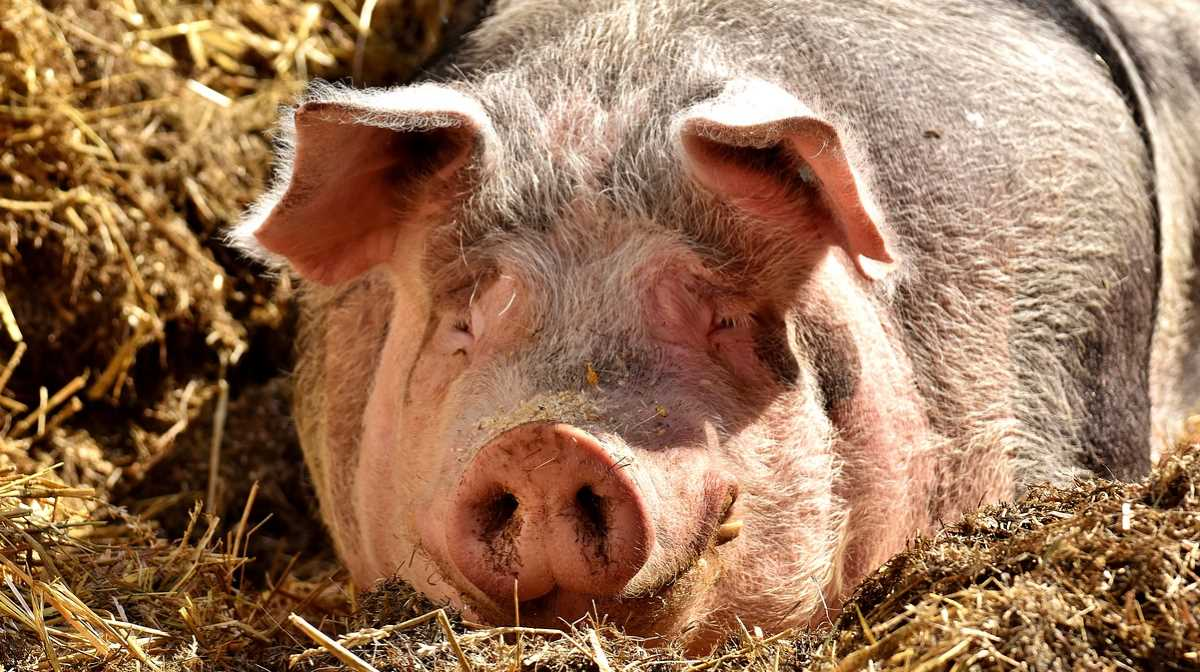Laos pork