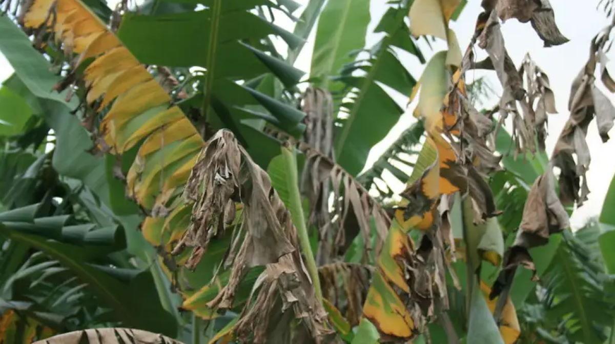 Fusarium wilt tropical race 4