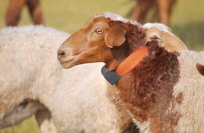Sheep GPS