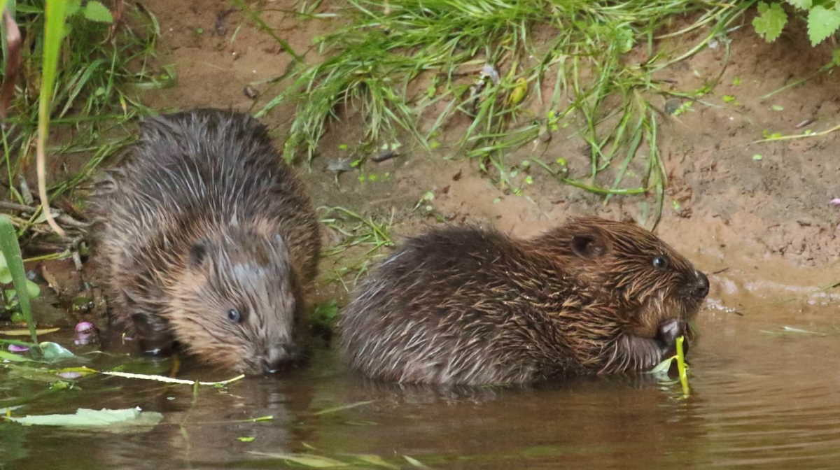 England wild beavers