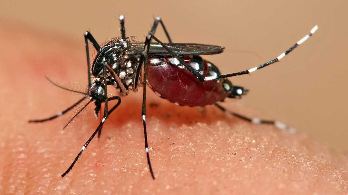 Aedes mosquitoe