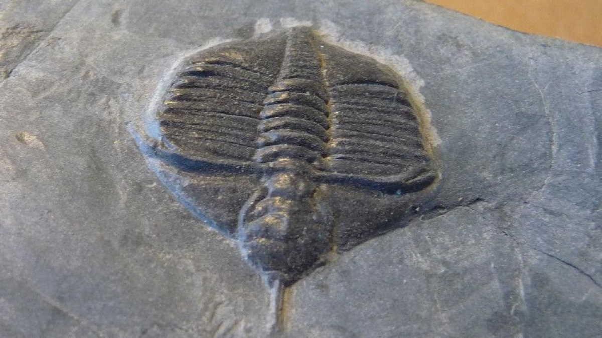 Ampyx trilobites