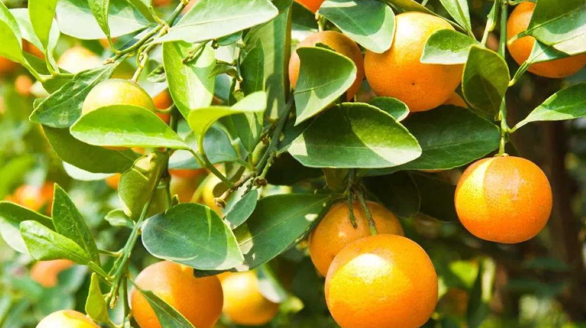 Citrus from South Africa